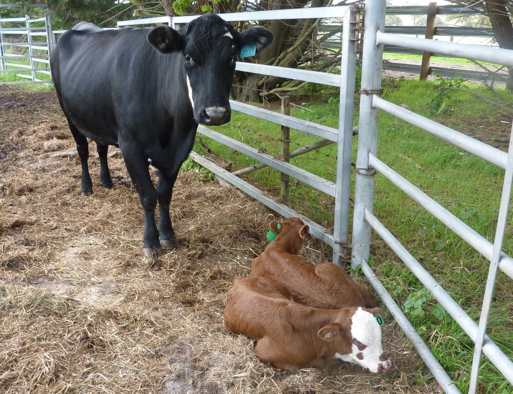 Twinner cow with calves, 2015